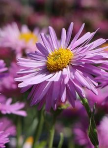 Alpen-Aster 'Happy End'