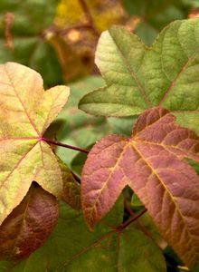 Amberbäume (Liquidambar)