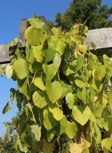 Pfeifenblumen (Aristolochia)