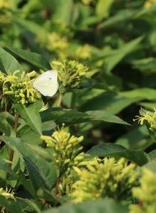 Geißblattgewächse (Diervilla)