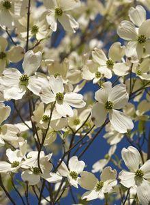 Amerikanischer Blumen-Hartriegel
