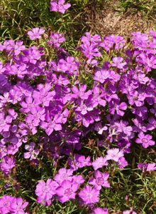 Nelkengewächse (Caryophyllaceae)