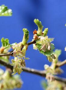Scheinbuchengewächse (Nothofagaceae)