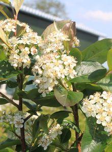 Apfelbeeren (Aronia)