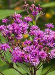 Scheinastern (Vernonia)
