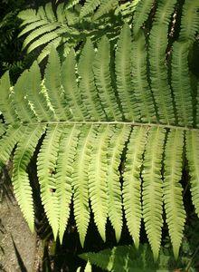 Perlfarngewächse (Onocleaceae)