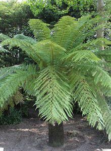 Dicksoniaceae (Dicksoniaceae)