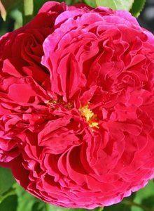 Englische Rose 'Auslo'
