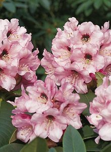 Rhododendron 'Monteverdi'