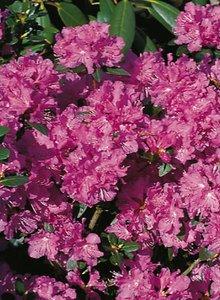 Rhododendron 'Regal'
