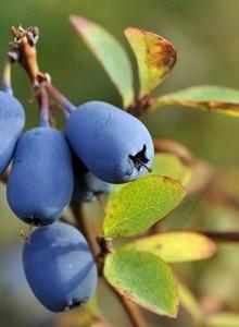 Honigbeere / Sibirische Blaubeere 'Blue Velvet' ®