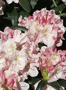Rhododendron 'Yaku Queen'