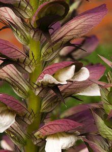 Akanthusgewächse (Acanthaceae)