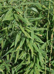 Bambus / Chinarohrgras / Muriels Schirmbambus