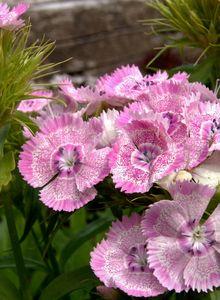 Nelken (Dianthus)