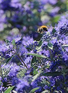 Bartblume 'Heavenly Blue'