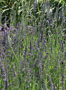 Bastard-Lavendel 'Dutch'