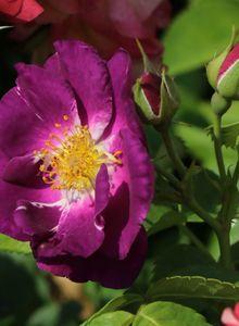 Beet-, Strauchrose 'Rhapsody in Blue' ®