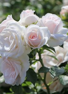 Beetrose 'Aspirin-Rose' ®