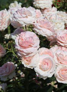 Beetrose / Bodendecker-Rose 'Larissa' ®