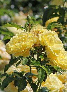 Beetrose / Bodendecker-Rose 'Solero' ®