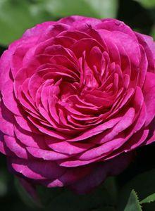 Beetrose 'Heidi Klum-Rose' ®