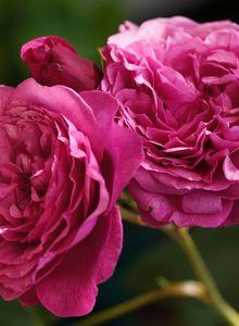 Beetrose 'Kaffe Fassett Rose' ®