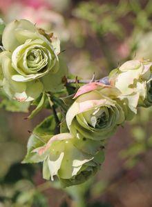 Beetrose 'Lovely Green' ®