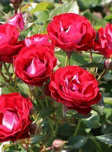 Beetrose 'Rose der Einheit' ®