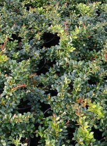 Berberitzengewächse (Berberidaceae)