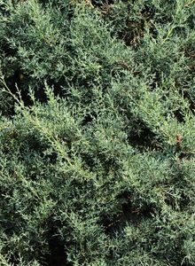 Zypressen (Cupressus)
