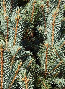 Fichten (Picea)