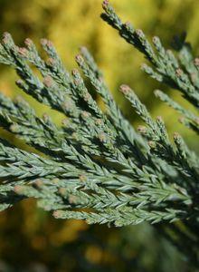 Sequoiadendron (Sequoiadendron)