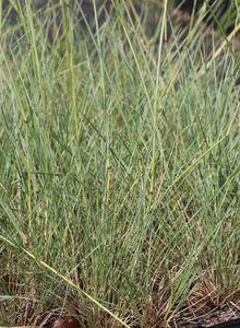 Helictotrichon (Helictotrichon)