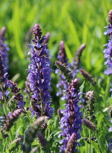 Blüten-Salbei 'Blauhügel'