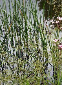 Blumenbinse (Butomus)