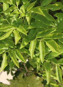 Eschen (Fraxinus)