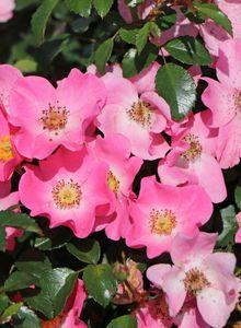 Bodendecker-Rose / Beetrose 'Fortuna' ®