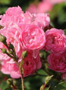 Bodendecker-Rose / Beetrose 'The Fairy'