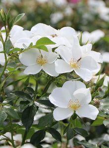 Bodendecker-Rose 'Escimo' ®