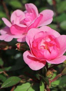 Bodendecker Rose 'Schöne Dortmunderin' ®