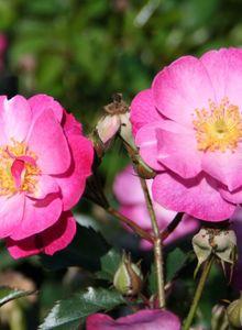 Bodendecker-Rose 'Lavender Dream' ®