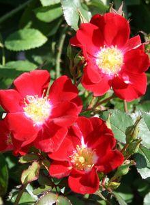 Bodendecker-Rose 'Red Meidiland'