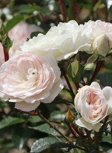 Bodendecker-Rose 'Sea Foam'