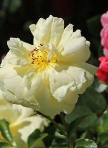 Bodendeckerrose 'Sunny Rose' ®