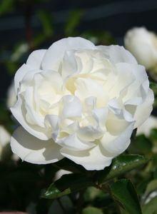 Bodendecker-Rose 'White Meidiland ®'