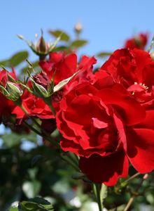 Bodendecker-Rose / Beetrose 'Austriana' ®