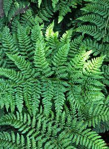 Wurmfarngewächse (Dryopteridaceae)