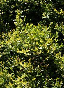Buchsbaumgewächse (Buxaceae)