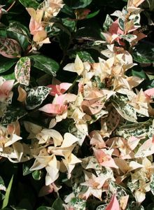 Sternjasmin (Trachelospermum)